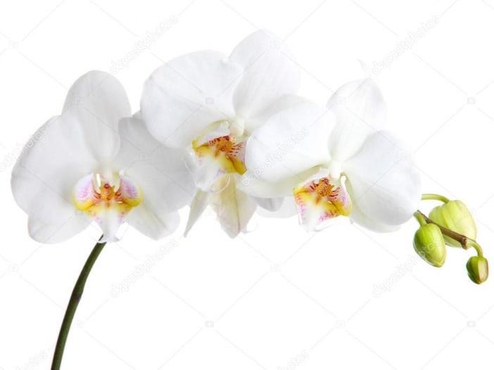 Depositphotos 16270783 Stock Photo Beautiful Orchid Isolated On White